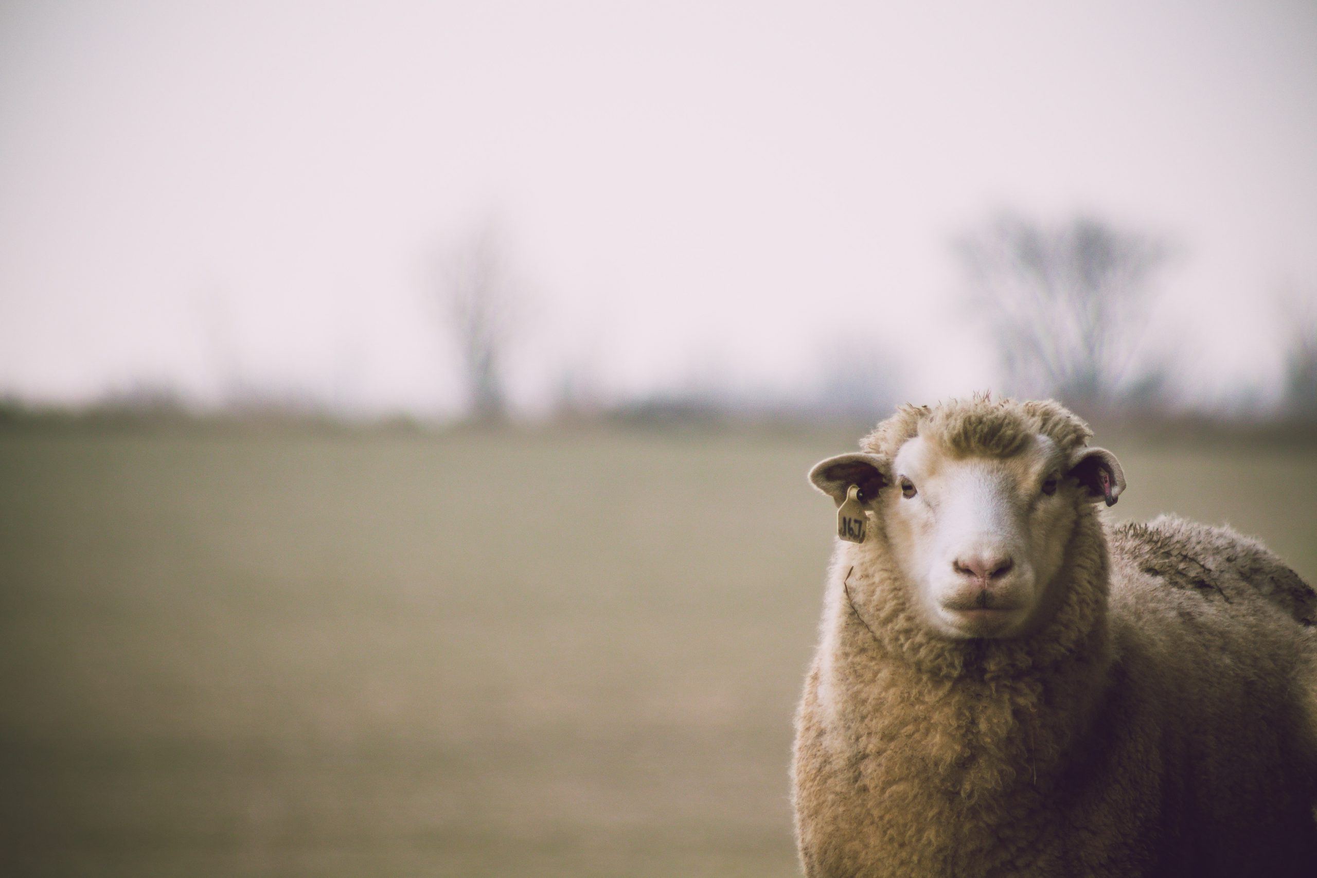 The benefits of 'good' cholesterol in reproduction: how high-density lipoproteins help to prepare sperm for fertilisation in breeding rams